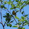 3783 Yellow Warbler June 1 2012