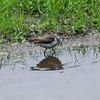 3797 Spotted Sandpiper June 1 2012