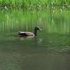 3775 American Black Duck June 1 2012