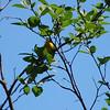 3782 Yellow Warbler June 1 2012