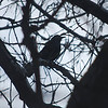 1108 Grackle March 9 2012