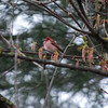 1694 Purple Finch May 1 2012