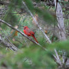 1690 Cardinal May 1 2012