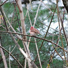 1693 Purple Finch May 1 2012