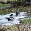 1697 Wood Ducks May 2 2012