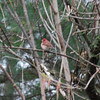 1692 Purple Finch May 1 2012