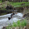 1700 Wood Ducks May 2 2012