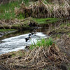1699 Wood Ducks May 2 2012
