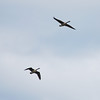 1701 Canada Geese May 2 2012