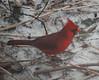 0095 Cardinal Jan 8 2012 crop