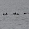 DSC_2486 Hooded Mergansers Nov 1 2012