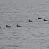 DSC_2475 Hooded Mergansers Nov 1 2012