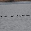 DSC_2485 Hooded Mergansers Nov 1 2012