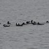 DSC_2489 Hooded Mergansers Nov 1 2012