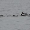 DSC_2480 Hooded Mergansers Nov 1 2012