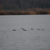 DSC_2478 Hooded Mergansers Nov 1 2012