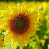 Cape Tourmentine Flowers 01