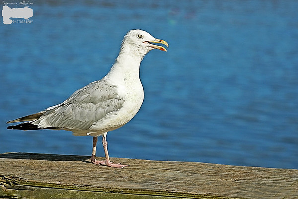 Herring Gull Cape Tourmentine NB