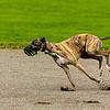 Greyhound 16