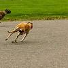 Greyhound 02