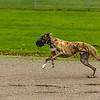 Greyhound 15