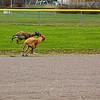 Greyhound 05