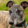 Greyhound 18