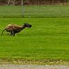 Greyhound 07