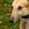 Greyhound 19
