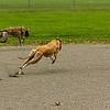 Greyhound 03