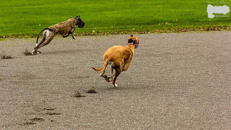 Greyhound 01
