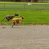 Greyhound 04