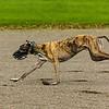Greyhound 17