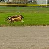 Greyhound 06