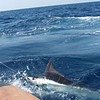 WEDNESDAY WINNER!<br /> Nice shot of Piracy's blue marlin release during the KWLA. Submitted by Allison Struyk.
