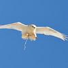 leucistic rough-legged hawk....pooping in flight