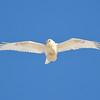 leucistic rough-legged hawk