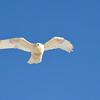 leucistic rough-legged hawk...hunting