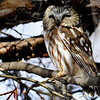 Northern Saw-Whet Owl<br /> The saw-whet owl is a solitary bird, only pairing up during breeding season (usually between March and May). Females are significantly larger than males but are otherwise coloured the same. While the mother bird sits on her 3-7 eggs, the male does the grocery shopping and keeps mom fed. Young owlets take 4-5 weeks to fledge and are only cared for by their parents for a few weeks following fledging. After that, they must fend for themselves.<br /> <br /> The saw-whet owl is a mighty hunter, killing whatever they can, whenever they can. The saw-whet's favorite meals are made up of mice, voles, moles and shrews but they will also eat insects, song birds and amphibians. When prey is plentiful this owl will store up food. They will kill much more than they need and store their extra kills for later. When prey becomes scarce during winter they have some in cold storage and will find the hidden food, sit on it (much like they would incubate an egg), until it thaws and presto, one owl t.v. dinner.<br /> <br /> <br /> Some predators of the Saw-Whet owl are larger owls, Cooper's hawks and martens. When these owls feel threatened or sense danger during the day they will elongate their bodies and as a result look like a tree branch stump.
