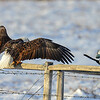 bald eagle & magpie