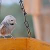 leucistic chickadee