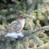 pine grosbeak -juvenile