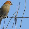 pine grosbeak - juvenile