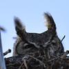 great horned owl female