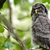 this is owlet #1 of 2....it was quite high in the trees and only out of the nest for 1 day