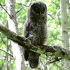 6 2012 June 30 Great Gray Owlet Videos :