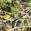 wilson's warbler male
