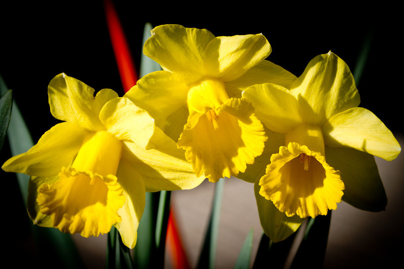 Day 100 - 9 April 2012<br /> One last photo of the daffodils before we have a spring freeze.  We are supposed to drop almost 30 degress tonight here and have near freezing temperatures the next couple of nights.