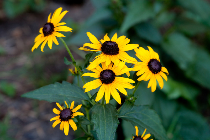 Day 227 - 14 August 2012<br /> The Black Eyed Susan's are doing well.  Hopefully they will come back up again next year.