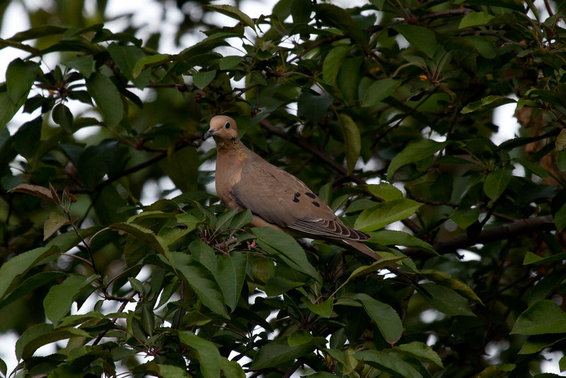 Day 125 - 4 May 2012<br /> The state has made it legal here in Iowa to hunt morning doves, why?